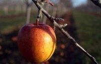 "January 2008: Open, ""The last apple"""