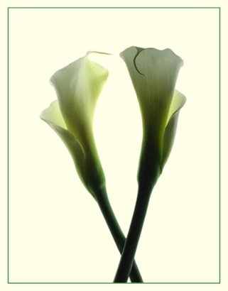 "January 2007: Open, ""Two calla lilies"""
