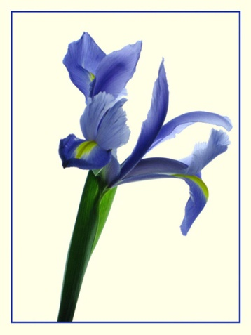"January 2007: Open, ""Blue iris"""