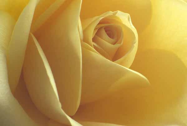 Rose_12683W