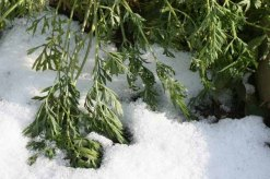 Snowed-in carrots