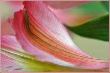 Curvy petals