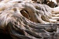 Saguaro stump