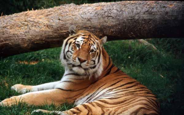 Tiger_16086W