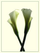 """January 2007: Open, """"Two calla lilies"""""""