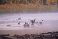 Geese_15418pb9