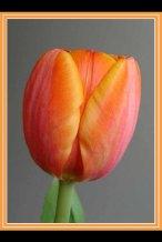 Img_Tulip_5121a