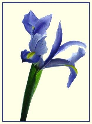 Iris_1341b3