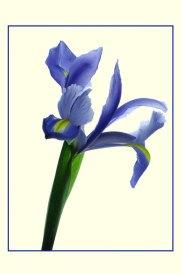 Iris_1341b3COS2