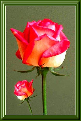 Rose_11930pb9d
