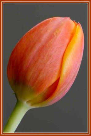 RX_Tulip_4394a
