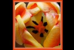 RX_tulip_4424a