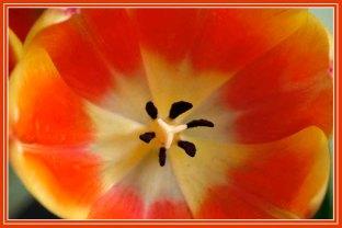 RX_tulip_4433a
