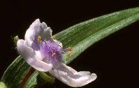 Spiderflower_13583