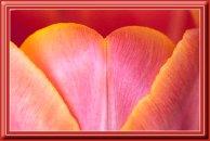 Tulip_12970pb9