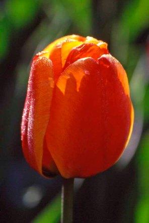 Tulip_12092