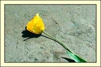 Tulip_809621p4