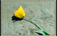 Tulip_809621p4co