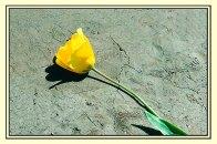 Tulip_prb3