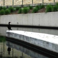 Cormorant at the lock