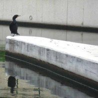 Cormorant at the lock