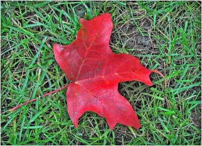 Rec maple leaf