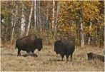 Bison Elk Island