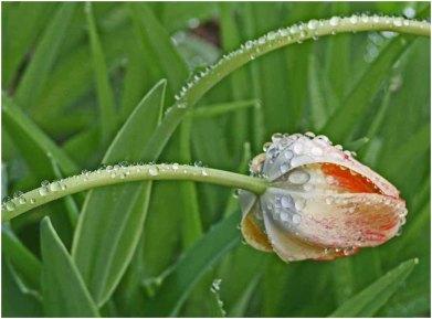 Wet tulip