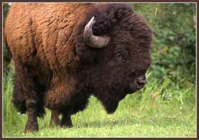 Woolly bison