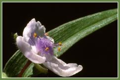 Spiderflower_13583b2