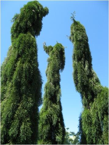 Giant weeping Sequoia, Oregon Garden