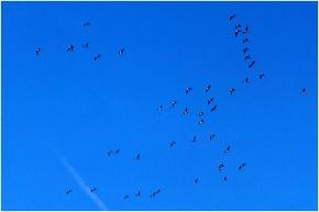 Geese at Fox Lake WI fall1987