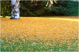 Birch leaf drop 2001