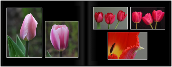 TulipsPg_1213a