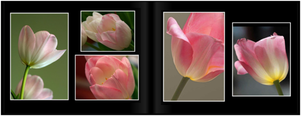 TulipsPg_2223a