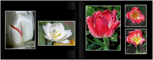 TulipsPg_2627a