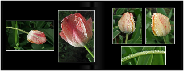 TulipsPg_2829a