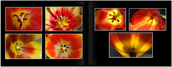 TulipsPg_3435a