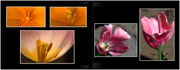 TulipsPg_3637a