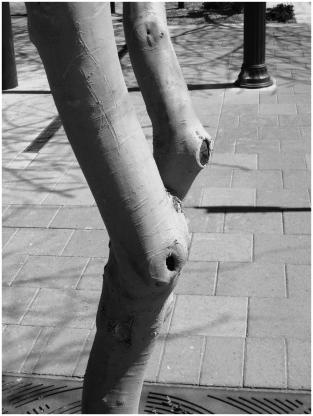 Knobby knees