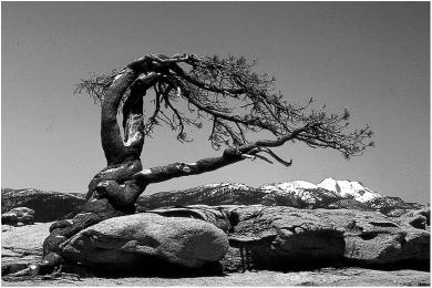 Jeffrey Pine, Yosemite