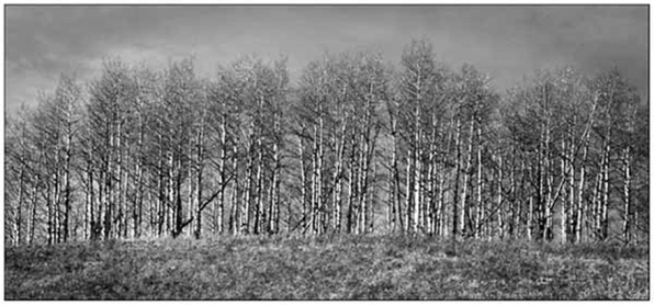Tree line Sheep River