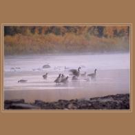 Geese_15418pb9sm
