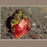 Rhubarb_13181GRsm