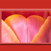 Tulip 12970pb9sm