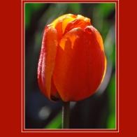 Tulip_12092sm