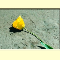 Tulip_prb3sm