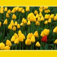 Tulips_12065crd1