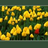 Tulips_12065crd2