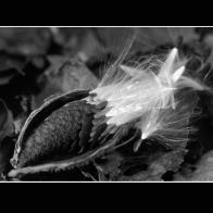 Milkweed_W5204bMc